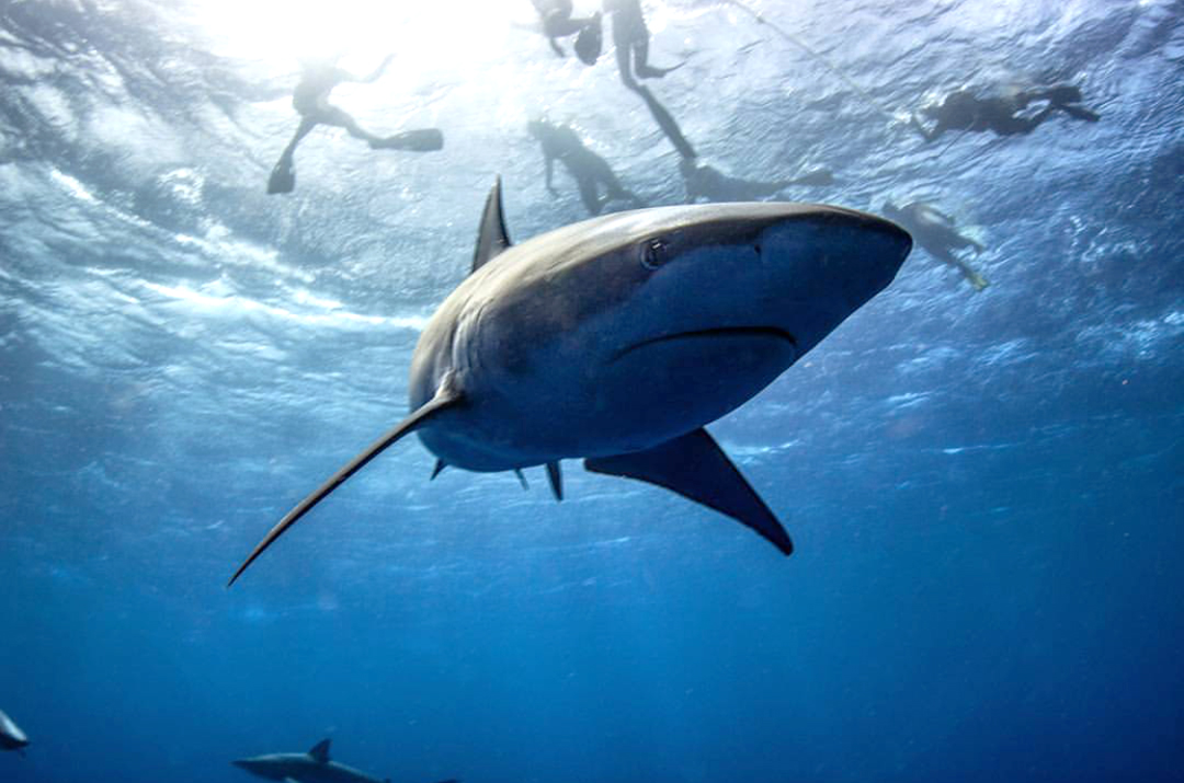 Galapagos Shark and Divers at Surface