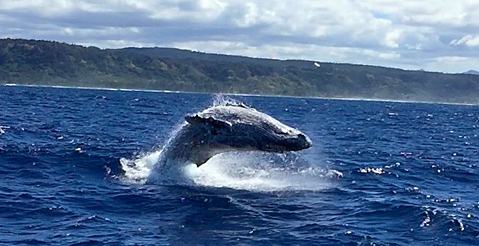 Humpback Whale Breach 3-10-15 H2o Adventures Hawaii copy